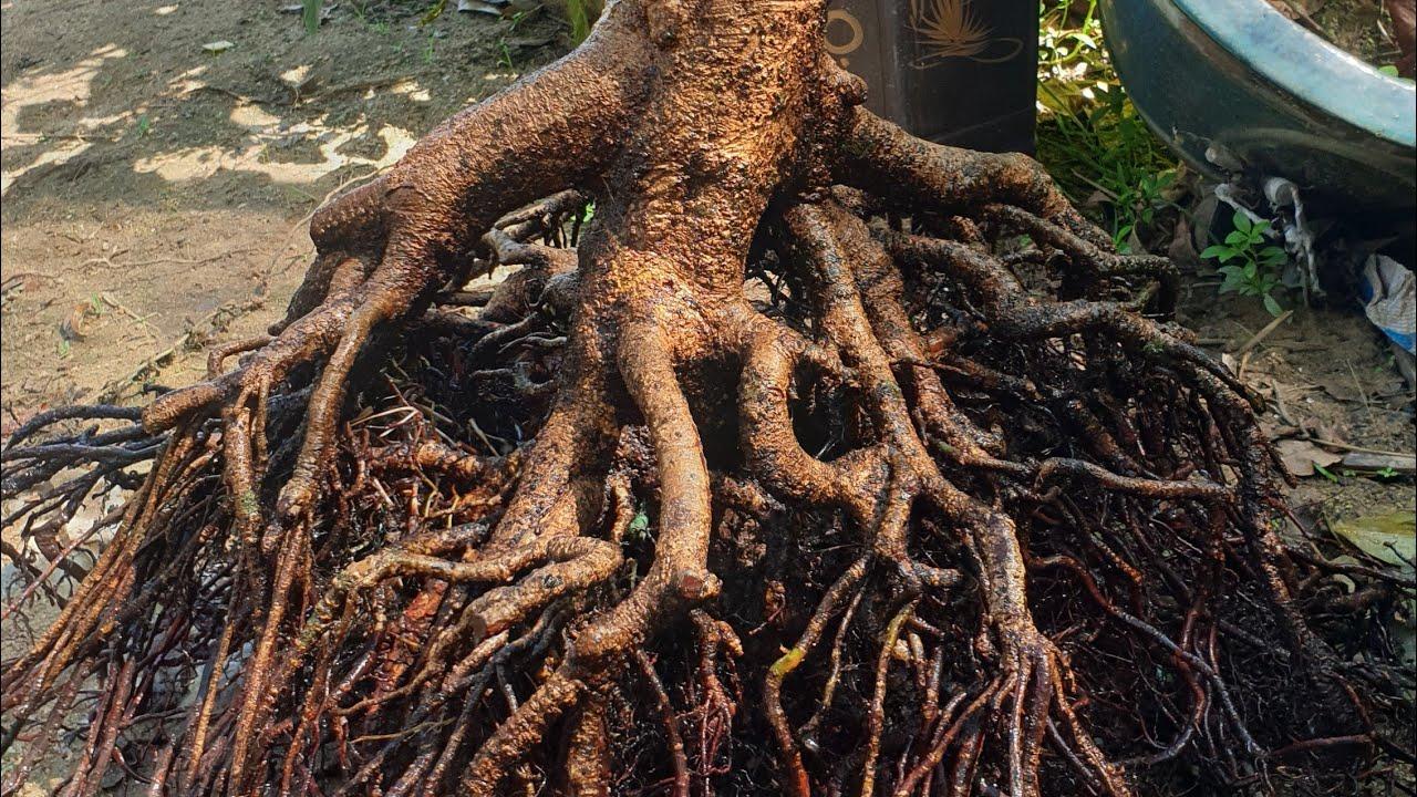 Trồng cây mai miền nam trên đất Bình Định.