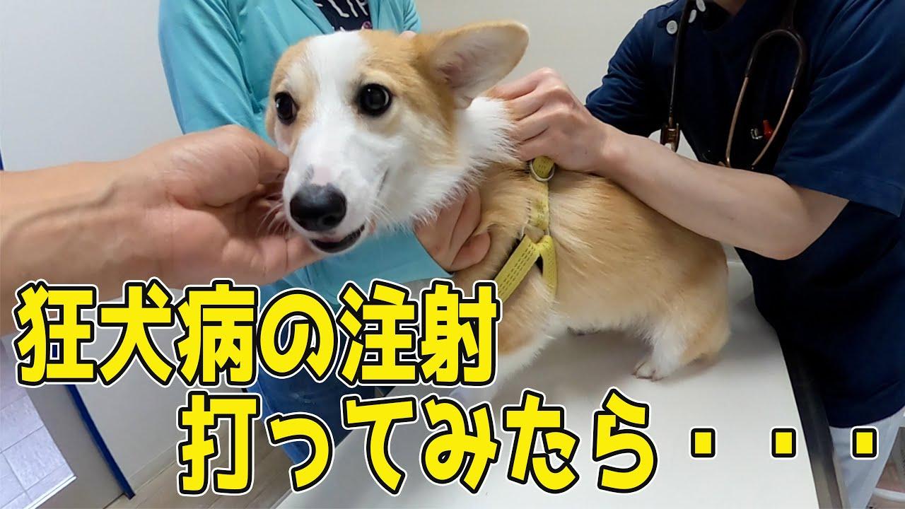 狂犬病の注射を打ちに行くコーギー【funny corgi】