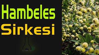 Hambeles Meyvesi Yaban Mersini Murt   Sirke tarifi   Sirke çeşitleri