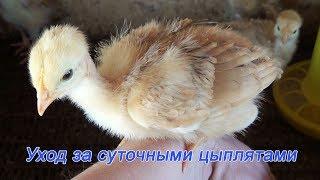 Уход за суточными цыплятами Подробно как вырастить цыплят Содержание цыплят