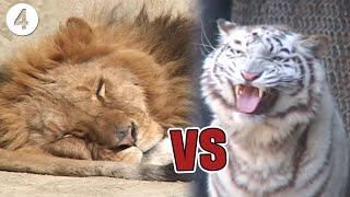 잠자는 사자의 콧털을 건드는 백호!? 숙명의 라이벌 '사자와 호랑이' 과연 누가 이길까? [백호 사파리에 도전하다④]