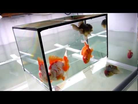 China Goldfish