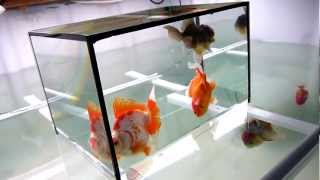 China Goldfish