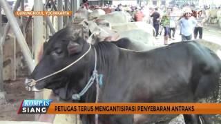 Tangkal Penyebaran Wabah Penyakit Antraks, Peternak Berikan Ramuan Khusus - NET 12.