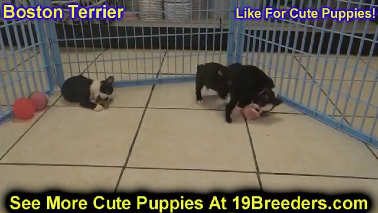 Craigslist Las Cruces Nm >> Boston Terrier, Puppies, Dogs, For Sale, In Las Cruces ...