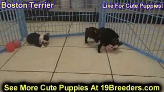 Boston Terrier, Puppies, For, Sale, In, Rio Rancho, New Mexico, County, Nm, Sandoval, San Juan, Mcki
