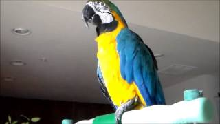 Blue and Gold Macaw Talking