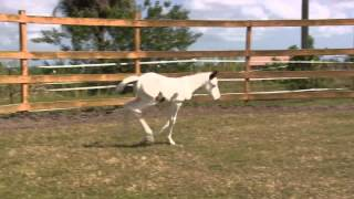 """Coconut"" Medicine Hat filly running and playing at 1 week old"