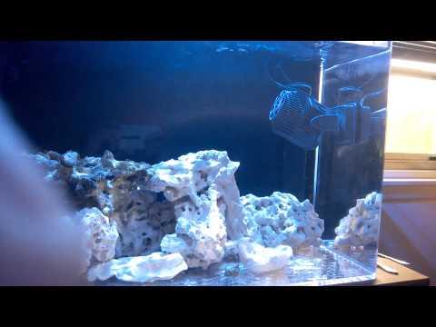 Clownfish Darting Around