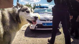 Полиция в гостях у хаски | Собачьи бои | Овчарка против хаски и маламута