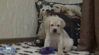 Мальчик c Зеленой лентой 6 недель   Щенки лабрадора / Labrador puppies