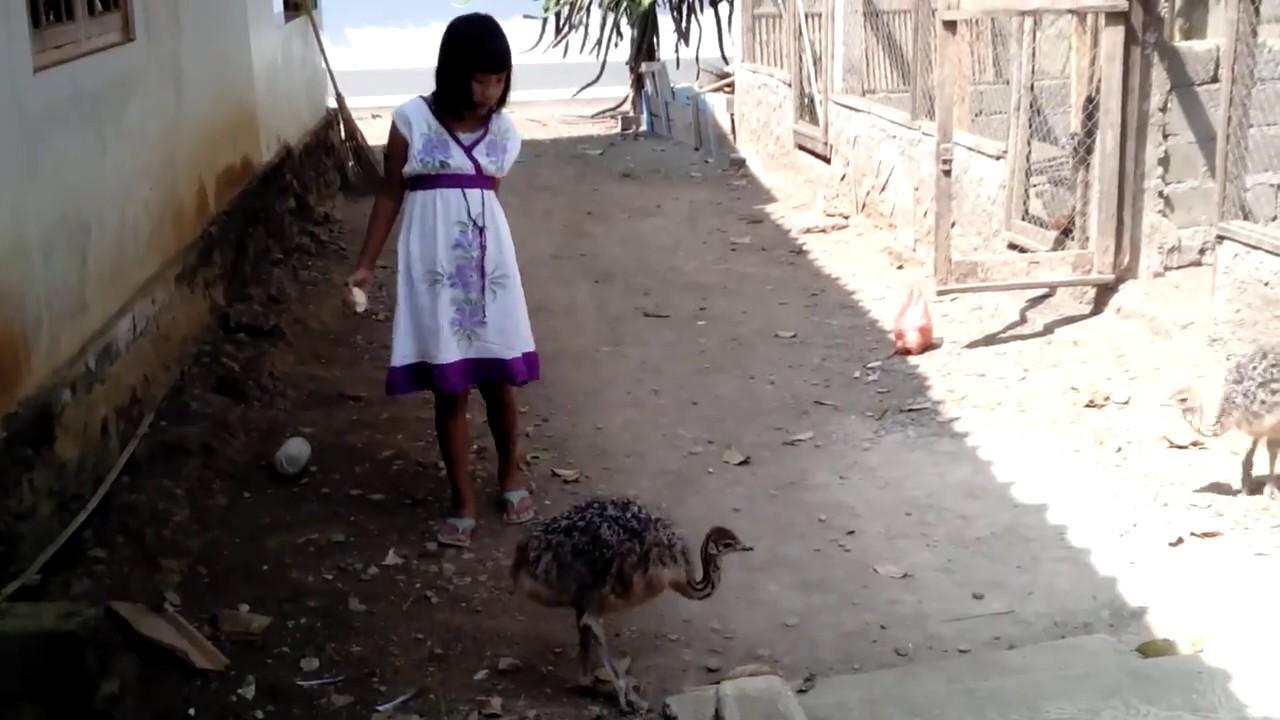 63 Gambar Ayam Unta Paling Hist