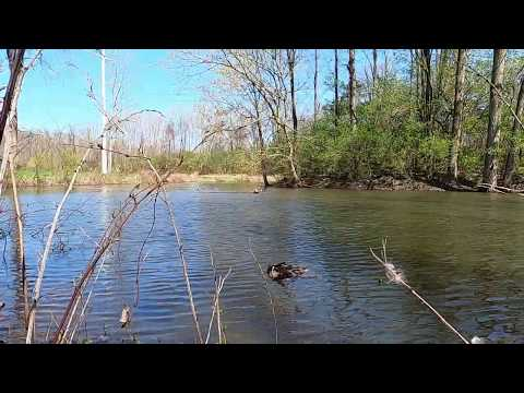 Relaxing video of Chesapeake Bay Retriever swimming towards her objective