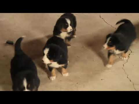 Bernese Mountain Dog Puppies For Sale Abner Zook