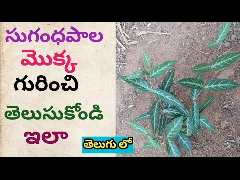 Download సుగంధ పాల మొక్క గురించి తెలుసుకోండి ఇలా Sugandha pala plant uses in telugu