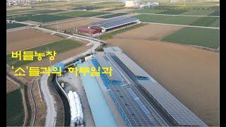 한우축사 송아지 밥주기,  벼농사 논갈기 버늘농장(농업…