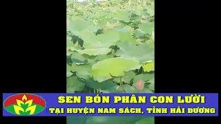 ỨNG DỤNG CÔNG NGHỆ SINH HỌC - PHÂN CON LƯỜI cho cây Sen đem lại hiệu quả rất tốt