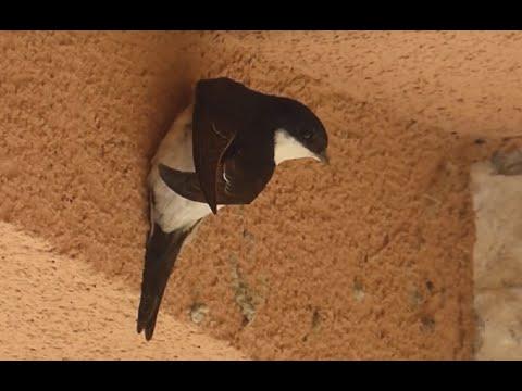 Ptice Hrvatske - Piljak (Delichon urbica) (Birds of Croatia - House Martin) (1/2)