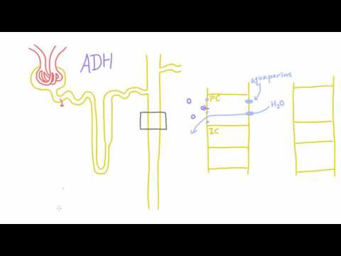 How does Antidiuretic Hormone (ADH) work?