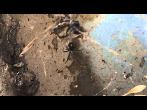 Black Widow Attacking Tarantula Hawk