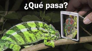 ¿De qué color será un camaleón si se mira a un espejo?