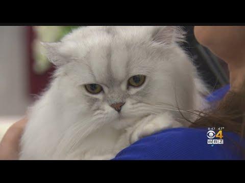 Catsachusetts Cat Club Holds International Cat Show In Cambridge