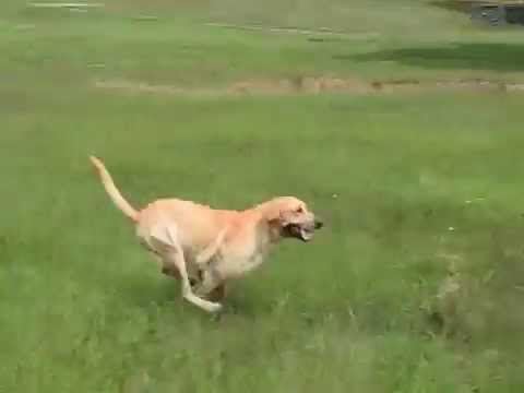 Labrador Retriever Training Video: The Power of Bandersnatch