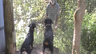 Rottweilers Zohan And Jedda Guard Fence