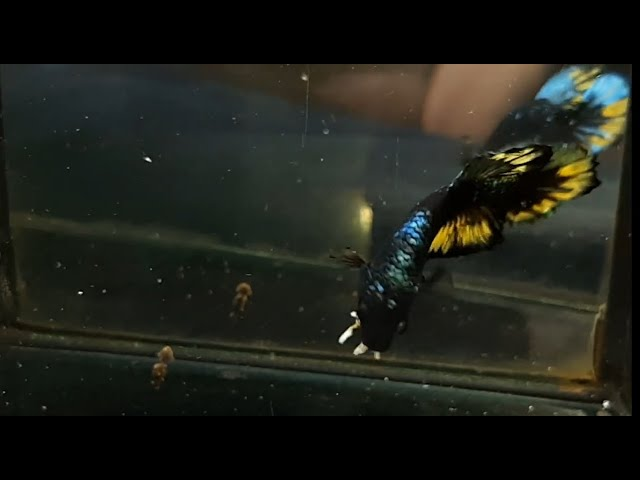 Masih Langka Ikan Cupang Avatar Yellow Youtube