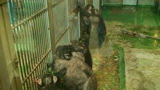 旭山動物園のチンパンジー。おやつの時間です。このような与え方をする...