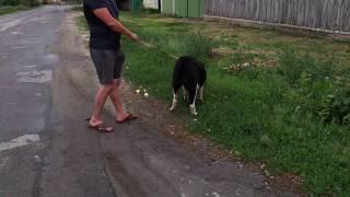 Прогулка с любимой собакой породы алабай.