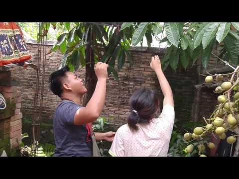 PANEN BUAH MATOA(BUAH LANGKA DI INDONESIA)