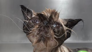 Today I groomed a new species | Weirdest cat ever