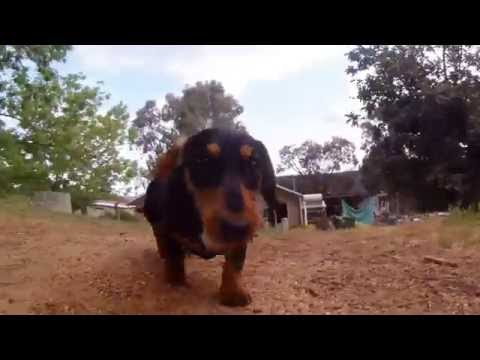 Dachshund Puppy Chewing on a Bone