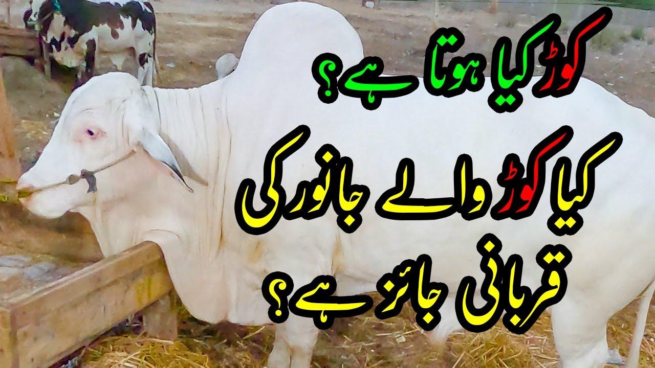 130K to 1500K Cattle Price - Awesome Beauty at Sohrab Goth Cow Mandi 2021 Bakra Eid 2021 Qurbani