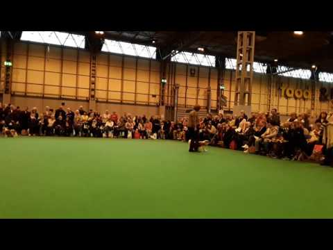CRUFTS 2017 CAVALIERS KING CHARLES - CLASS OPEN DOGS