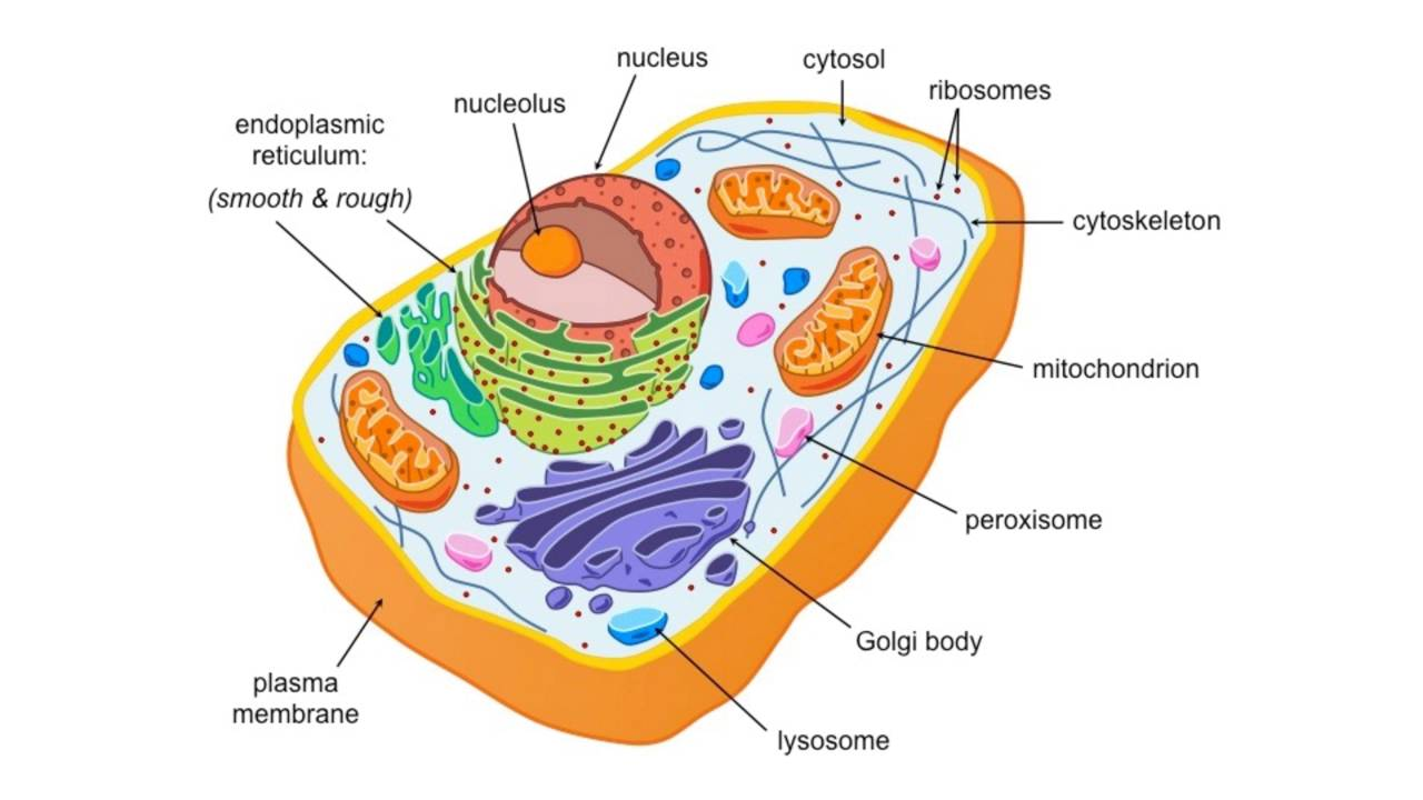 Eukaryotic and prokaryotic cell structure youtube eukaryotic and prokaryotic cell structure pooptronica Choice Image