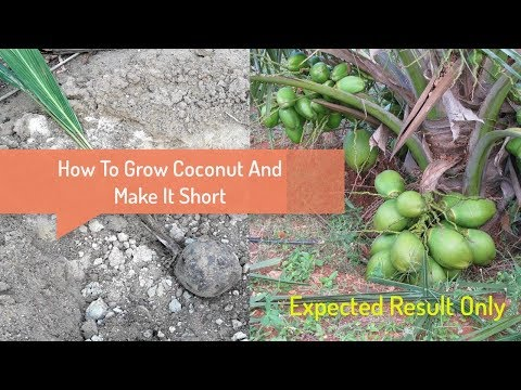 How To Grow Coconut Tree To Make It Short