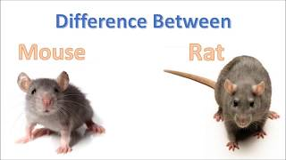 Difference between mouse and rat | Rat Vs Mouse | Comparison