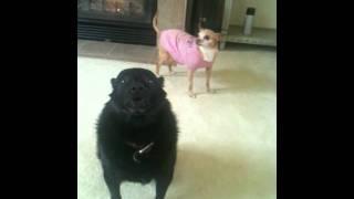 Dog sings....or Ozzy the singing schipperke