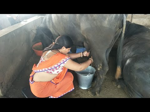 Indian gujarat woman buffalo Milking by hand full length live video || village life