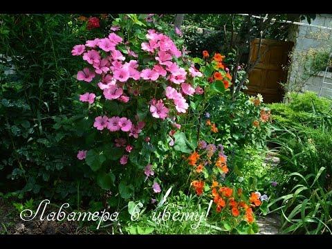 Лаватера цветёт !Райское цветение!