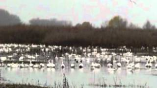 2010 California Snow Geese San Joaquin Valley