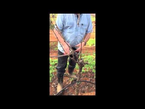 Cane pruning Cabernet Franc