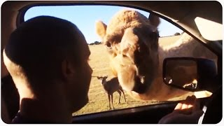 Camel Eats Food | Guess What Day It Is... Humpday