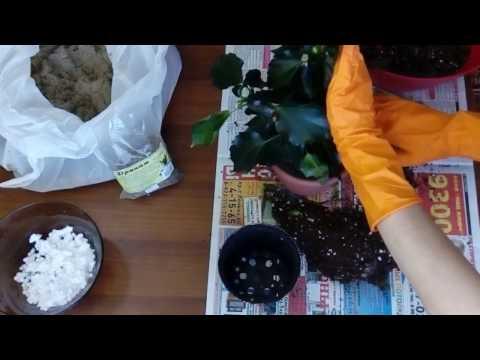 Пересадка гибискуса (китайской розы)