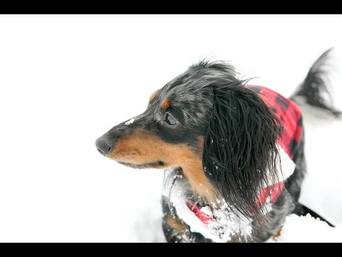 Turbo Toby's First Snow Day!!! (Miniature Dachshund)