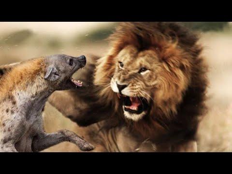 Львы против гиен. Кто сильнее гиена или лев?