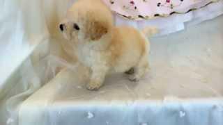 トイプードル ホワイト~クリーム 女の子 2013年12月16日生れ.