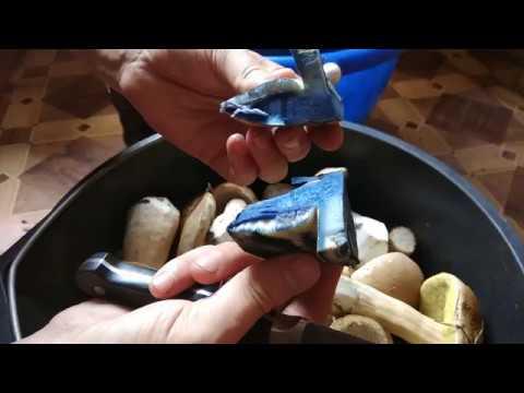 Гиропорус синеющий (Синяк) - магический гриб!